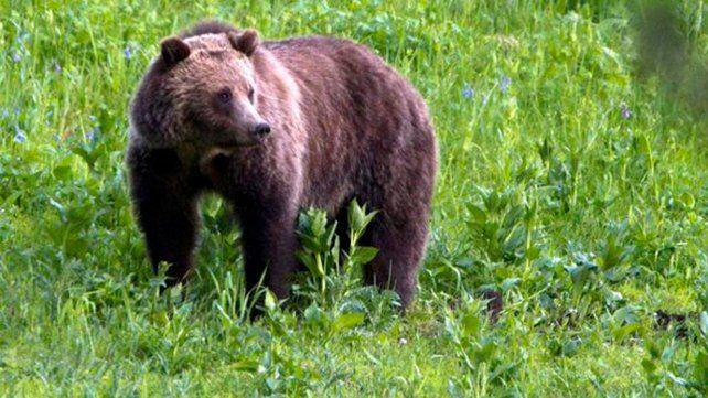 Un oso mató a una ciclista y lo buscan para sacrificarlo