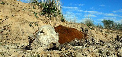 Nuevo desastre ecológico en las islas por la mortandad de ganado