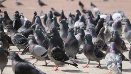 Las palomas de la plaza Pringles