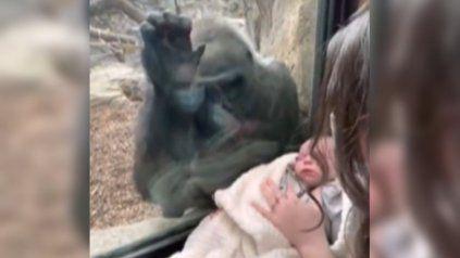 El momento en que una mamá gorila se enamora de un bebé humano