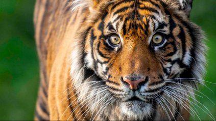 La hembra que murió en el zoológico de Washington.