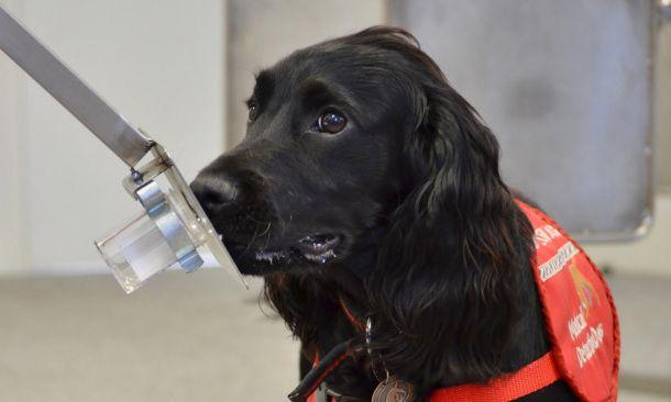 Utilizarán el olfato de perros para detectar pacientes con cáncer de próstata