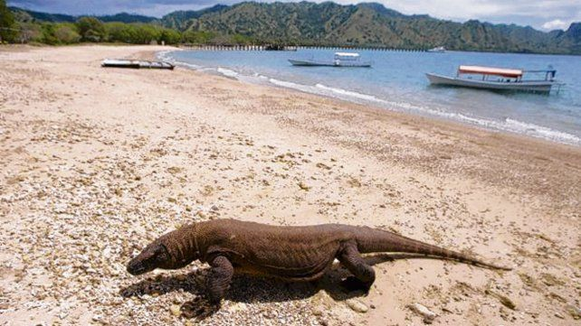 Gigantes. Unos 5.000 lagartos viven en el Parque Nacional de Komodo.