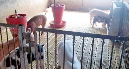 Recuperaron 84 cerdos robados en Correa y hay un detenido