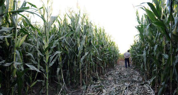 Las inexplicables marcas en maizal causan conmoción en la localidad de Pujato