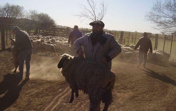 Cada productor recibirá un núcleo ovino que consiste en la entrega de 20 ovejas