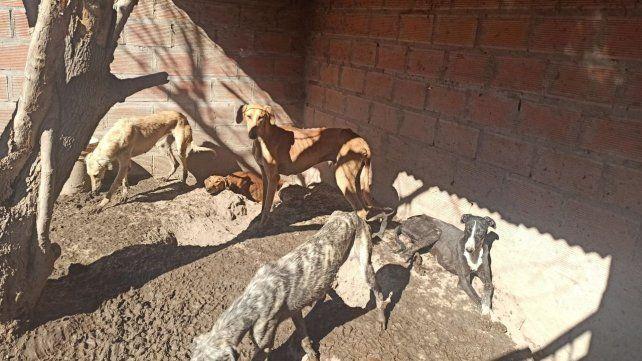 Los 27 galgos encontrados dentro de un criadero de Roldán están en muy malas condiciones sanitarias.