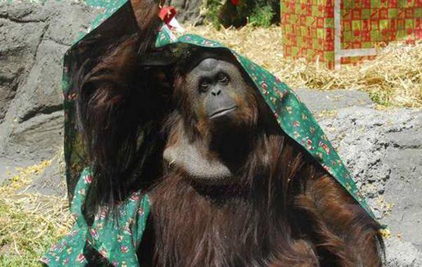 Figura. Sandra tiene 30 años. Nació en un zoo alemán y será llevada a un parque distante 100 kilómetros de San Pablo.