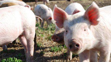 La producción de cerdos en Santa Fe busca el camino del agregado de valor.