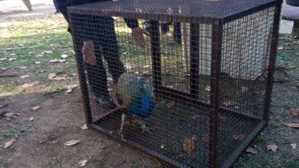 Apareció un pavo real en una plaza de la zona sur de Rosario