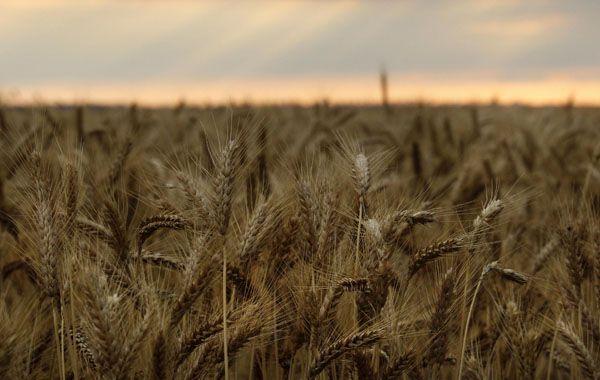 El servicio GEA sumó 10 mil hectáreas a la estimación de superficie sembrada con trigo.