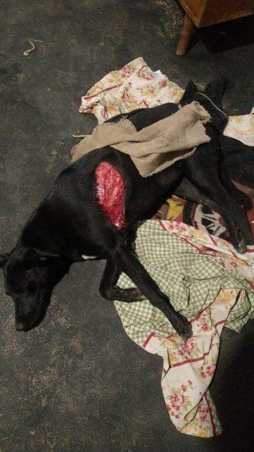 La perra que se enfrentó al puma recibió un zarpazo que le provocó una herida de 33 centímetros.