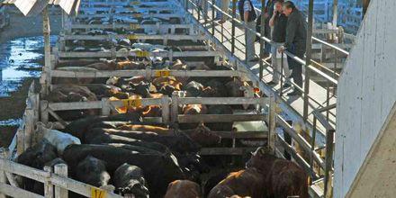 Récord histórico: ingresan más de 27 mil vacas al Mercado de Hacienda de Liniers